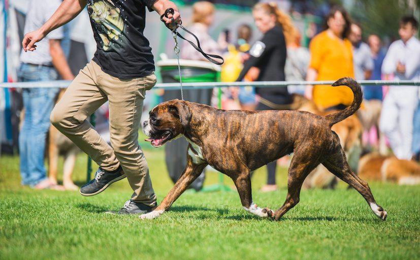 Konkurrence blandt byen lokale hunde og hundeejere